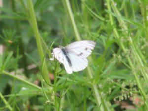 vlindertellingen Vondelpark