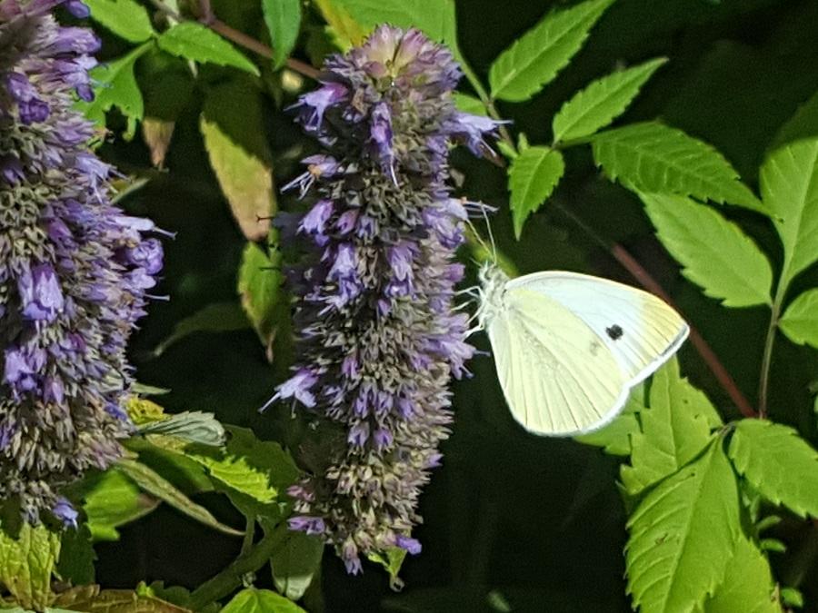 vlindertelling Vondelpark